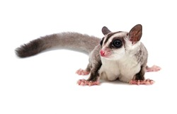Studio shot of a cute sugar glider (Petaurus breviceps) isolated on white background. Nocturnal exotic mammal from Asia and Australia. Close up of adorable and fluffy pet sugar glider with long tail.