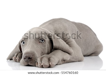 Shutterstock Studio shot of a cute Weimaraner puppy lying on white background.