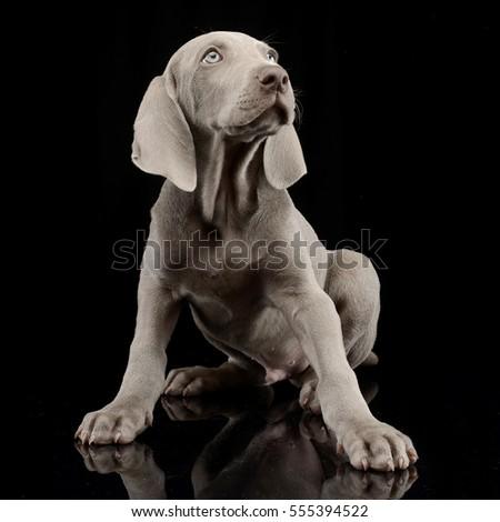 Studio shot of a cute Weimaraner puppy sitting on black background.