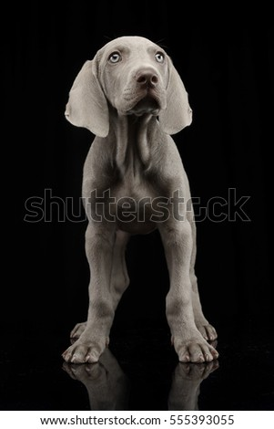 Studio shot of a cute Weimaraner puppy standing on black background. #555393055