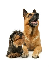 Studio shot of a Dachshund and a german shepher dog lying and having a good time together