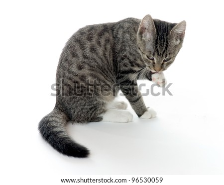 studio shot of a domestic cat cleaning her paws
