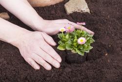 studio shot of a gardener planting bellis perennis, (daisy flowers) in flower soil.