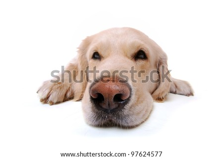 studio shot of a golden retriever