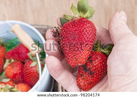 studio-shot of a hand showing fresh picked strawberries - stock photo