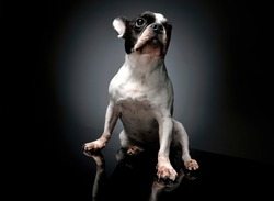 Studio shot of a lovely french bulldog on dark backggruond