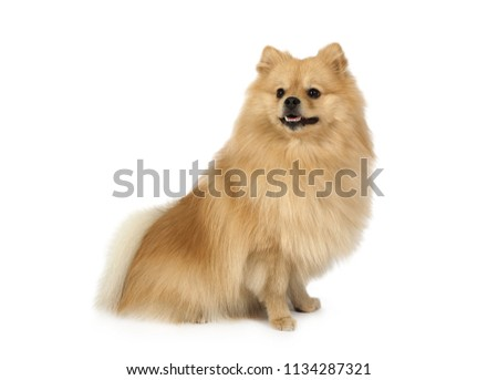 Free Photos Pomeranian Dog Sit On A White Background Avopix Com