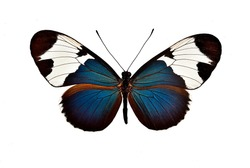 studio shot of a real butterfly