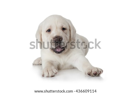 Studio Shot Of A Six Weeks Old Purebred Labrador Puppy Dog Isolated