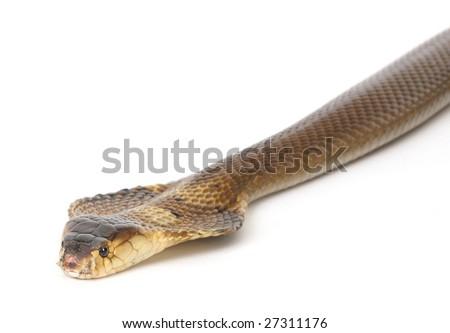 studio shot of a slithering cobra