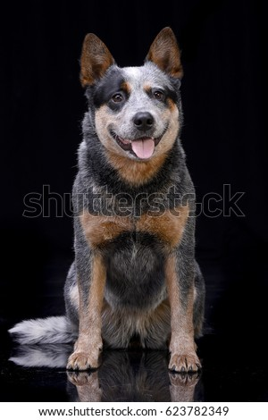 Studio shot of an adorable Australian Cattle Dog sitting on black background. #623782349