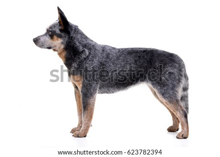 Studio shot of an adorable Australian Cattle Dog standing on white background. #623782394