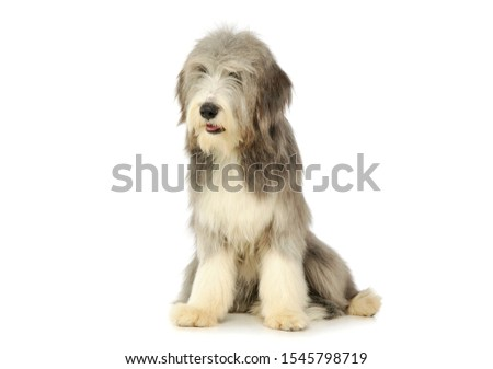 Studio shot of an adorable bearded collie sitting and looking curiously