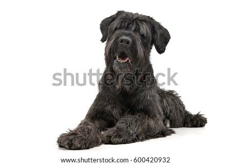 Studio shot of an adorable Black Russian Terrier lying on white background #600420932