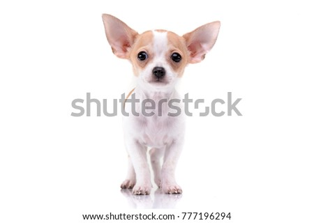 Studio shot of an adorable Chihuahua puppy standing on white background.