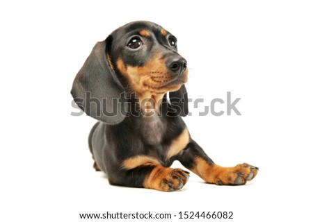 Studio shot of an adorable Dachshund puppy looking curiously ストックフォト ©
