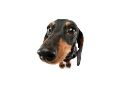 Studio shot of an adorable Dachshund with red collar standing and looking at the camera
