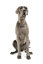 Studio shot of an adorable Deutsche Dogge sitting and looking curiously - isolated on white background.