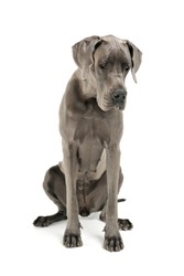 Studio shot of an adorable Deutsche Dogge sitting and looking down sadly - isolated on white background.