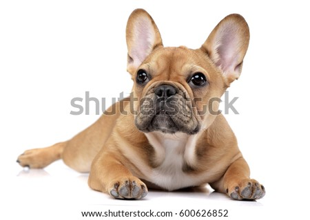 Studio shot of an adorable French bulldog lying on white background.