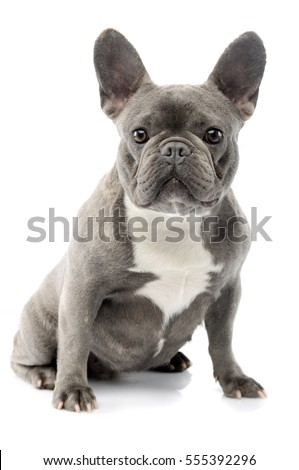 Studio shot of an adorable French bulldog sitting on white background.