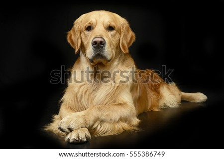 Studio shot of an adorable Golden retriever lying on black background. #555386749