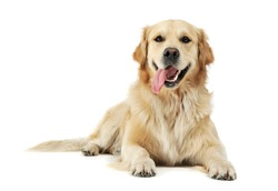 Studio shot of an adorable Golden retriever lying with hanging tongue - isolated on white background.