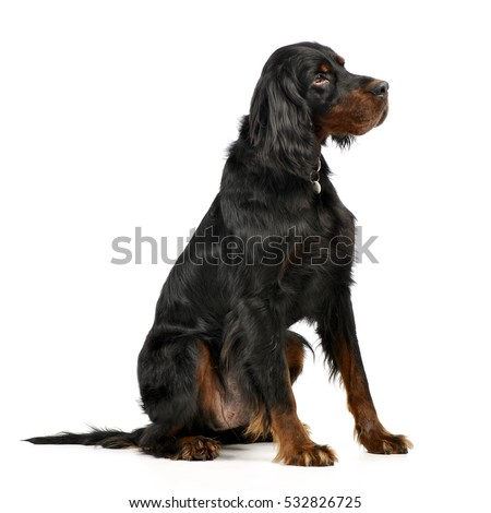 Studio shot of an adorable Gordon Setter sitting on white background. #532826725