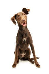 Studio shot of an adorable mixed breed puppy looking satisfied