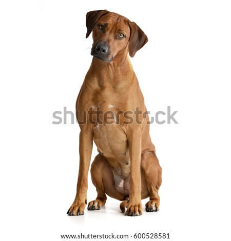Studio shot of an adorable Rhodesian ridgeback sitting on white background. #600528581