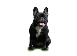 Studio shot of an adorable sitdown Black French Bulldog ,  isolated with clipping path on white background