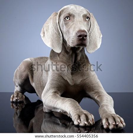 Studio shot of an adorable Weimaraner dog lying on grey background. #554405356