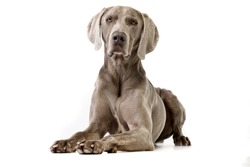 Studio shot of an adorable Weimaraner lying on white background.