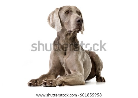 Studio shot of an adorable Weimaraner lying on white background. #601855958