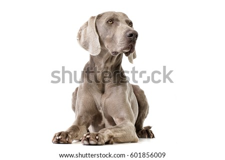 Studio shot of an adorable Weimaraner lying on white background. #601856009