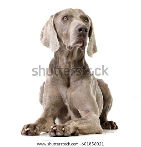 Studio shot of an adorable Weimaraner lying on white background. #601856021