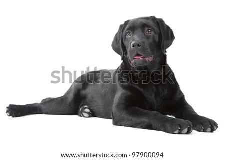 Studio shot of Black Labrador retreiver lying on isolated  white background - stock photo