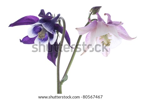 Studio Shot of  Blue and Pink Colored Columbine Isolated on White Background. Large Depth of Field (DOF). Macro.