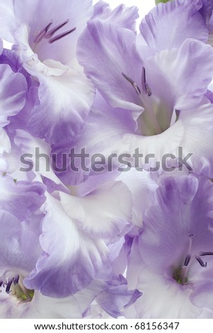 Studio Shot of Blue and White Colored Gladiolus Background. Large Depth of Field (DOF). Macro. Symbol of Reminisce, Love and Precision.