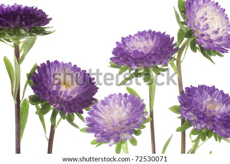 Studio Shot of Blue Colored China Aster Isolated on White Background. Large Depth of Field (DOF). Macro. Symbol of Jealosy.