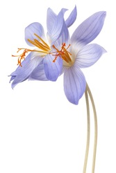 Studio Shot of Blue Colored Crocus Flowers Isolated on White Background. Large Depth of Field (DOF). Macro.