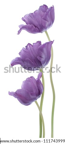 Studio Shot of Blue Colored Tulip Flowers Isolated on White Background. Large Depth of Field (DOF). Macro. National Flower of The Netherlands, Turkey and Hungary.