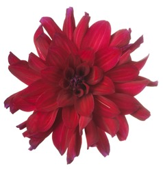 Studio Shot of Burgundy-red Colored Dahlia Flower Isolated on White Background. Large Depth of Field (DOF). Macro.