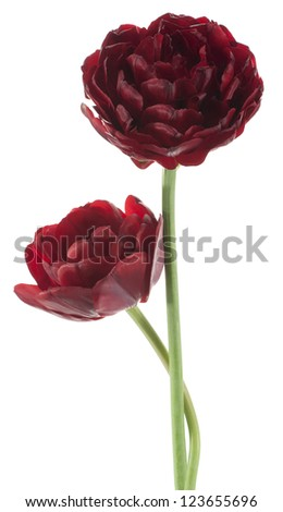 Studio Shot of Burgundy-red Colored Tulip Flowers Isolated on White Background. Large Depth of Field (DOF). Macro. National Flower of The Netherlands, Turkey and Hungary.