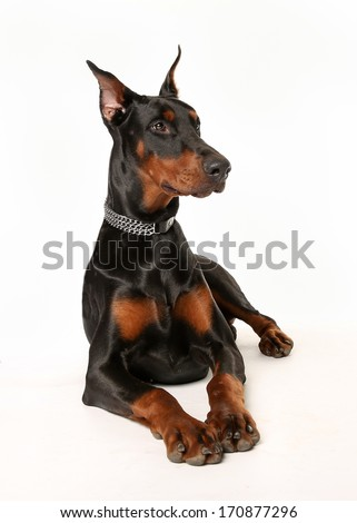 Studio shot of dobermann pinscher dog facing the camera
