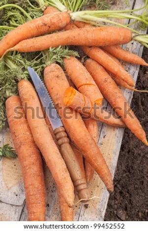 studio shot of fresh organic carrots after picking.