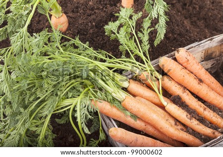 studio-shot of fresh picked carrots on a  field, in a wooden basket.