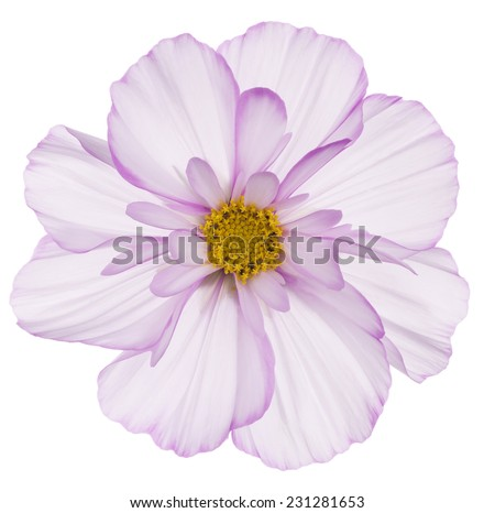 Studio Shot of Fuchsia and White Colored Cosmos Flower Isolated on White Background Large Depth of Field DOF Macro