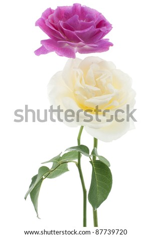 Studio Shot of  Fuchsia and White Colored Rose Isolated on White Background. Large Depth of Field (DOF). National Flower of Bulgaria, Ecuador, Luxembourg, Cyprus, Slovakia and Czech Republic.