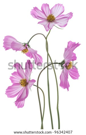 Studio Shot of Fuchsia Colored Cosmos Flowers Isolated on White Background. Large Depth of Field (DOF). Macro.